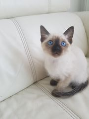 Siam Thai kitten nur noch