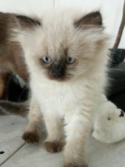 RAGDOLL ColourPoint Kitten