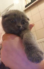 Scottish fold kitten 8 Wochen