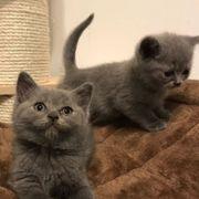 Britische Kätzchen des kurzen Haares