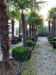 Trachycarpus fortunei Winterharte Palme über