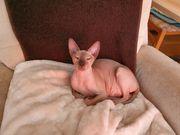 Sphinx Katze 1 Jahr