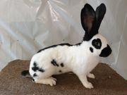 Deutsche Riesenschecken Stallhase Kaninchen Kleintiere