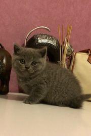Reinrassige Bkh Blue Kitten Katzenbabys