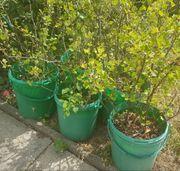 Beerensträucher Stachelbeeren