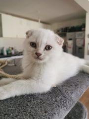 Süße BKH Kitten männlich abzugeben