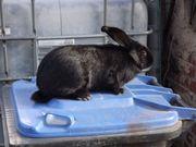 Kaninchen- Zibbe Deutscher-Riese von 03