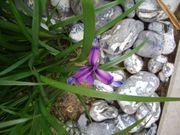 10 Fächer unserer Gras-Schwertlilie Grasiris