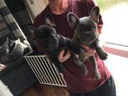 Französische Bulldoggen Welpen WhatsApp Bitte