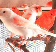 Intensiv Rote Kanarienvögel Ausstellungsqualität