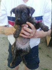 zu verkaufen deutsch belgische Schäferhundmix