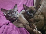 Reinrassige Burma Kitten mit Stammbaum