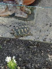 Suche Adulte Schildkröten Thb 1