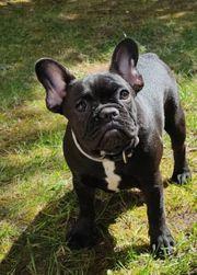 wunderschöne Französische Bulldogge Mädchen Schwarz