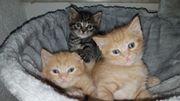 Wunderschöne Katzenbaby Maine Coon- Siam