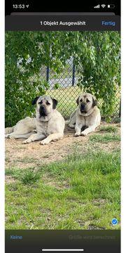 Zwei Kangal Rüden - 2 Jahre