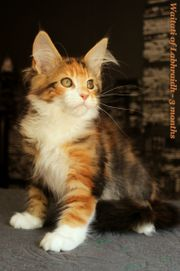 Waitati - liebe Maine Coon Katze