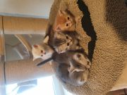 Bkh kitten ab Juni abzugeben