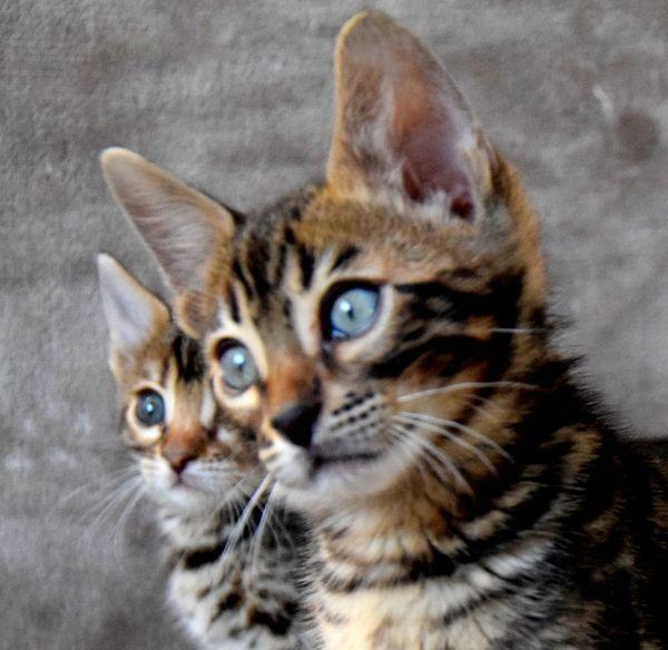 Bengal Kitten Katze Kater Stammbaum