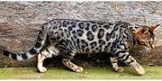 Bengalkatzen Katzen Kitten