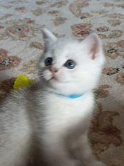 Kitten BKH Britisch Kurzhaar Reinrassige