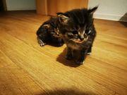 3 Kätzchen 1 weiblich und