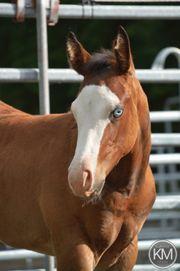 Quarter Horse Fohlen Absetzer stute