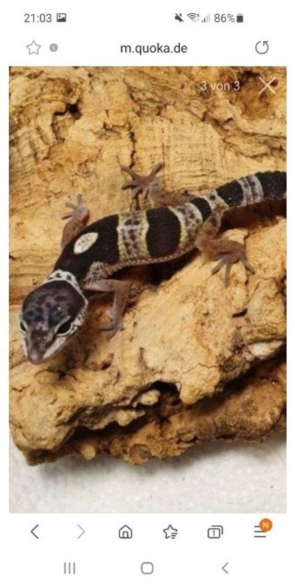 leopardgecko 2mädels und babys ab 40