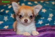 Traumhafte Chihuahua langhaar Welpen