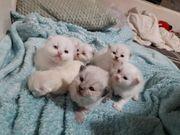 Perser-BLH Kitten