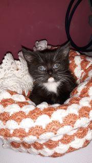 1 Mischling Katzenbaby