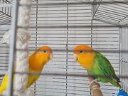 pfirsichköpfe kleine Papagei