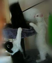 Perser-British kurzhaar MIx Katzen