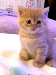 BKH -Kätzchen ein Kätzchen ist