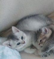 Wunderschöne reinrassige BKH-Kitten Liebhaber suchen