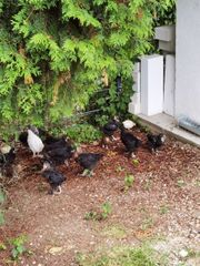 Junge Hühner Küken