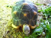 Strahlenschildkröte Astrochelys RADIATA 0 1