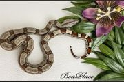 Boa Constrictor Imperator RLT 66