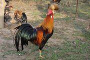 Italienische Hahn Henne