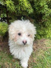 Malteser Bichon Welpe 4 Monate