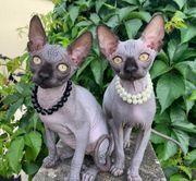Kanadische Sphinx Kitten Die Kätzchen