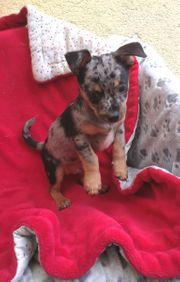 Chihuahua Welpe Merle