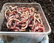 Dendrobena Riesen Rotwürmer 50 Stück