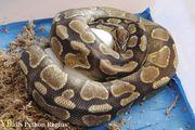 Adulte Königspython python regius Enchi