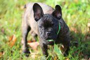 hübsche sportliche franz bulldogge hündin