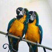 Papageien Ara Gelbbrust