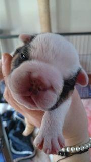 New English Bulldogge Welpen