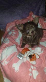 chihuahua Hündin Mini Micro in