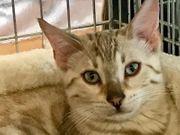 Bengal Kitten 13 Wochen mit