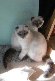 Scottish-Fold-Mix Geschwister- Katzen n 5-6
